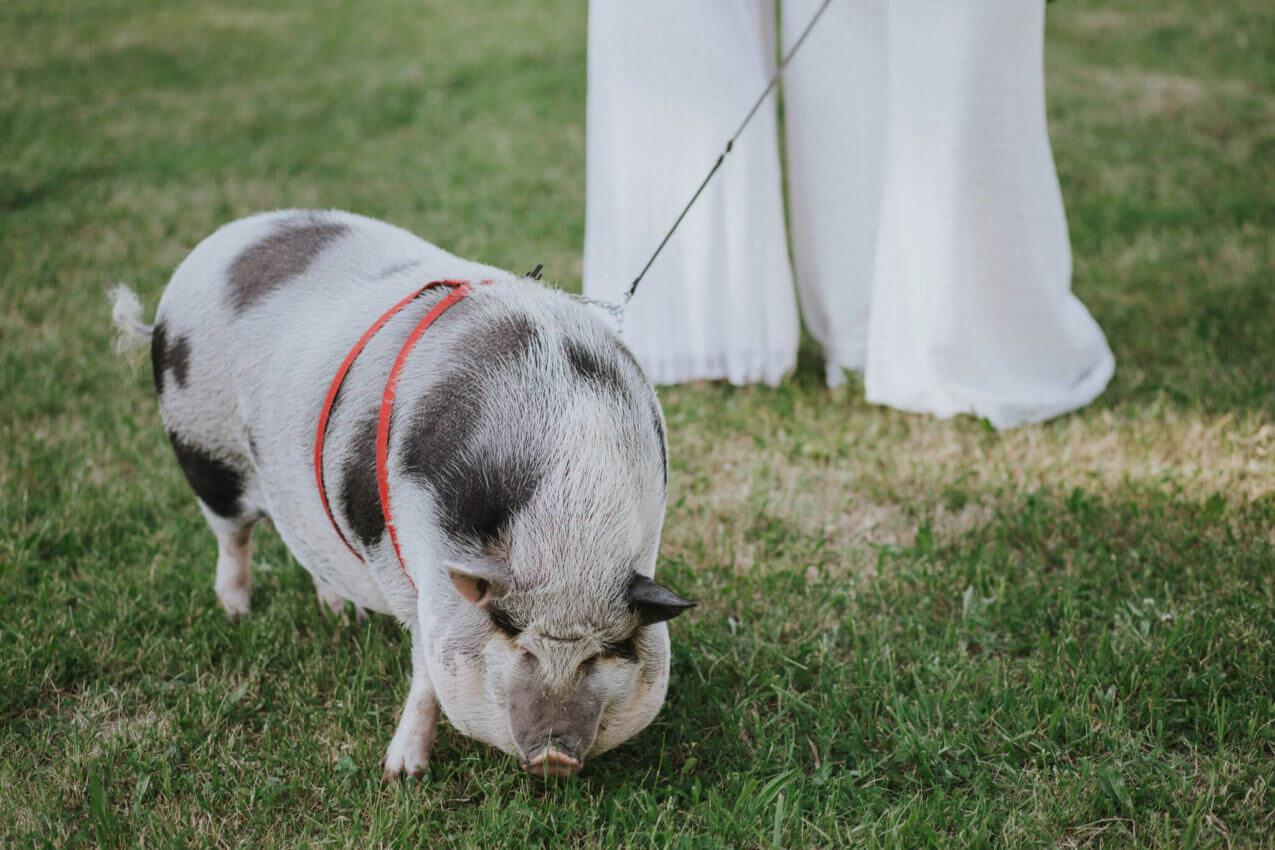świnia na sesji ślubnej